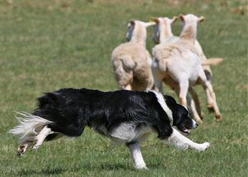 Cani Pastore Ricostruito Lalgoritmo Che Usano I Cani Per Radunare
