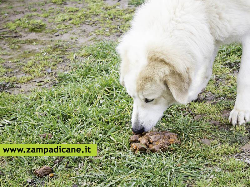 La Coprofagia Nel Cane è Un Comportamento Che Si Può Interrompere