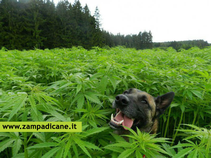 Marijuana per cani? Si, ma light