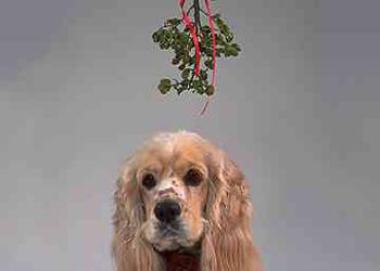 Piante invernali tossiche per i cani le reazioni che si for Piante invernali