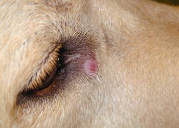Dog pulci vermi for Punture di pulci