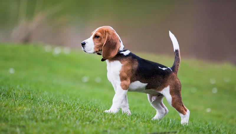 razza Beagle